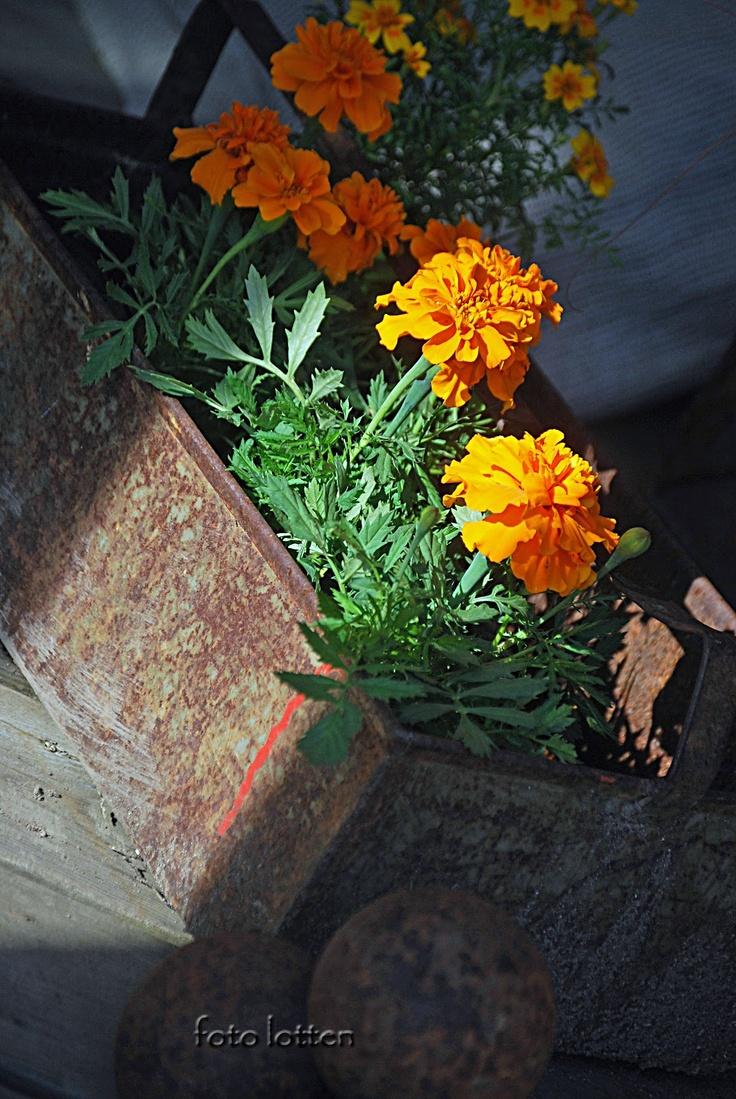 Die besten 25 marigolds in garden ideen auf pinterest for Dekor von zierpflanzen
