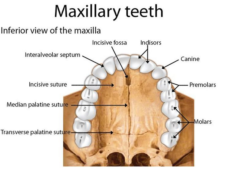 Anatomy of the maxilla | Dentist reviews, Dental student ...
