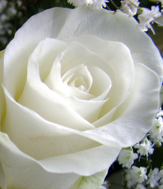 My favorite flower...   My favorite bouquet is White Roses, yellow Carnations and blue Irises...  But I can't find a pic