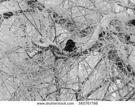 Black crow sitting on a snow-covered tree branches in winter