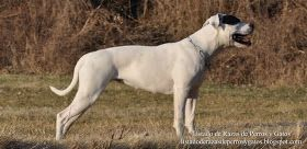 Foto de una hembra de Bulldog Americano en el campo. Raza de perro (Photo of a female American Bulldog in the field. Breed of dog)