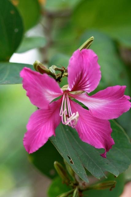 Bauhinia Purpurea by hoeadrian, via Flickr
