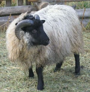 icelandic sheep images - Google Search