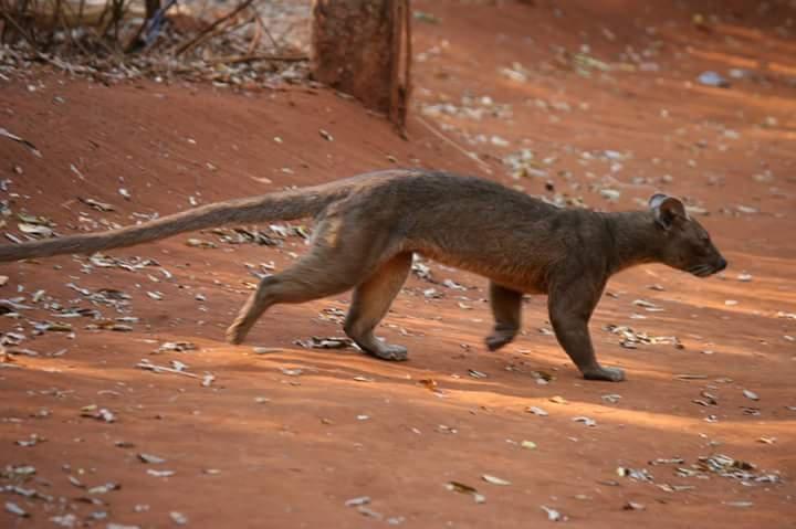 Fossa of Madagascar