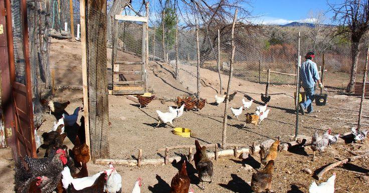Cómo construir un gallinero para gallinas ponedoras. Si tienes gallinas en tu patio porque tienes la intención de obtener huevos, es importante crear un ambiente adecuado. Esto implica alojar a las gallinas en un gallinero que no solo cumpla con necesidades básicas, como la protección de las condiciones extremas del clima y un lugar donde dormir por la noche, sino que también proporcione condiciones ...