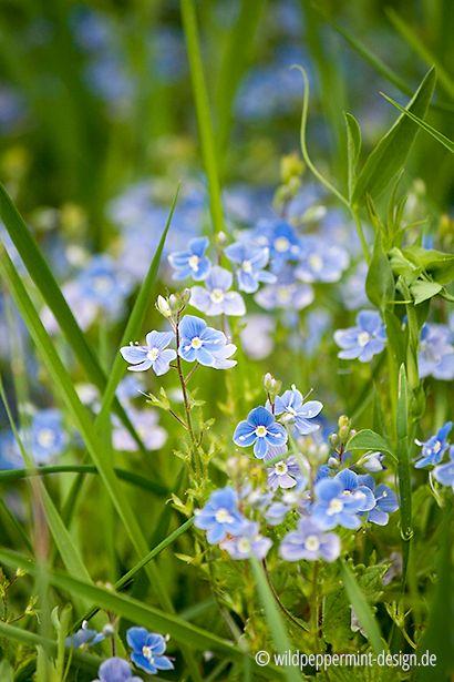 160 besten ✿ Wildpflanzen ✿ Bilder auf Pinterest Wordpress