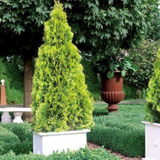 Lebensbaum Golden Smaragd®