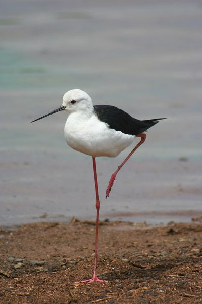 Black-winged Stilt spotted at Likweti - read more here:http://likweti.co.za/black-winged-stilt-new-sighting-at-likweti/  Photo by Leon Marais