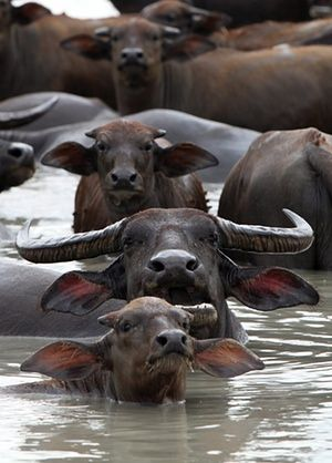Water buffaloes wallow in the reservoir of Lam Takhong Dam, Thailand.