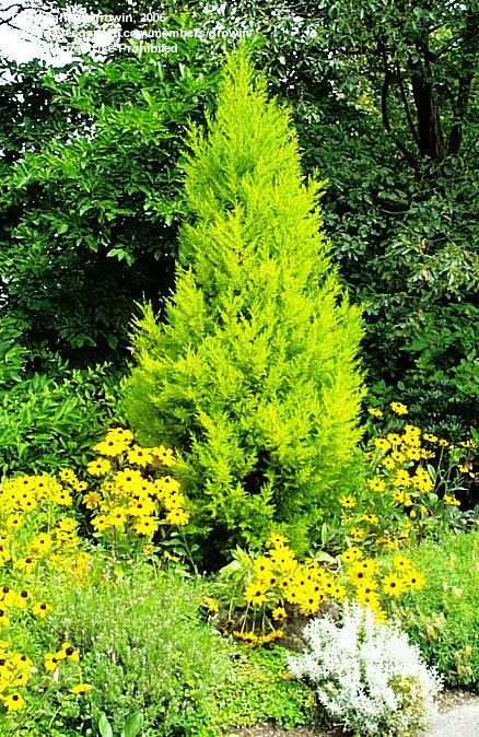 28 best images about trees salt tolerant wind drought on for Mature pine trees