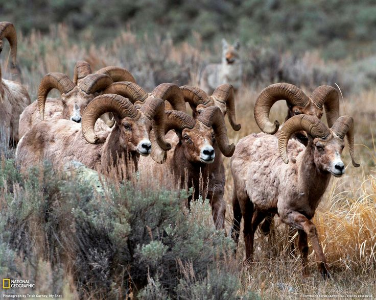 an analysis of the native north america by big horn sheep Establish bighorn sheep data analysis units (daus) representing larger  interconnected herd complexes that  native north american wild sheep  species are.