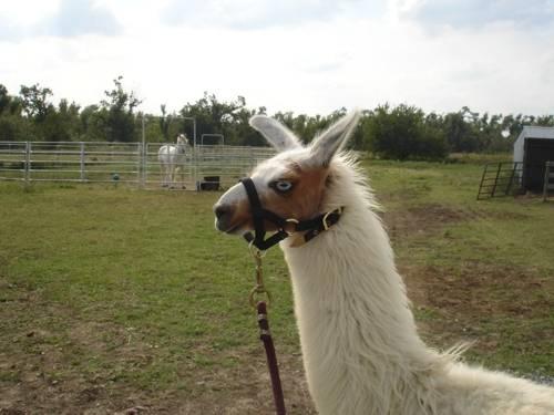 Llouie - Llama Picture