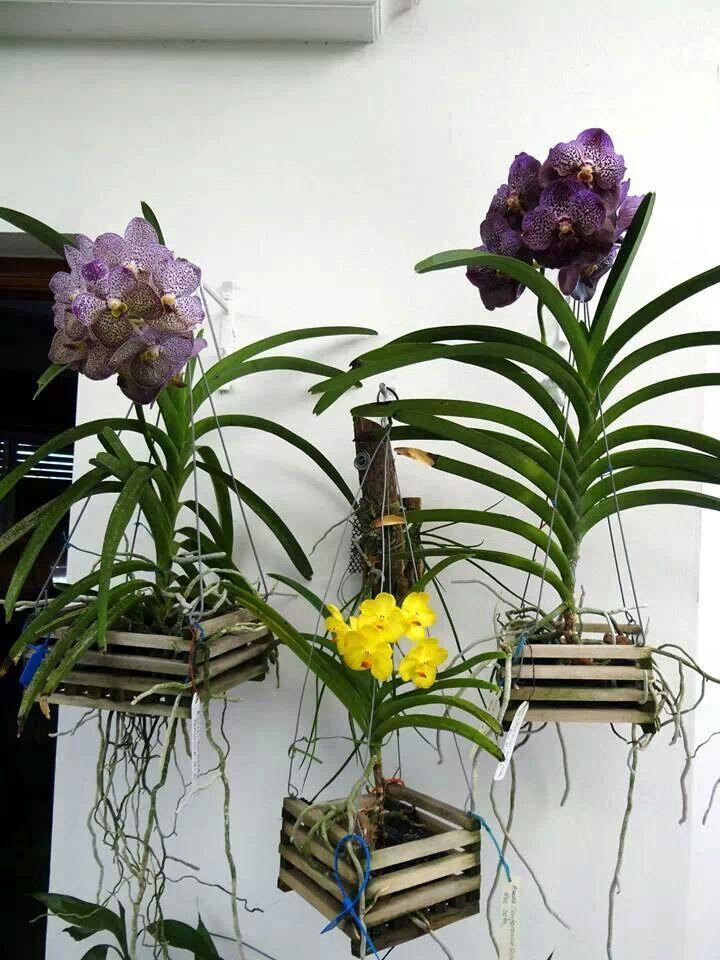 Vanda orchids More