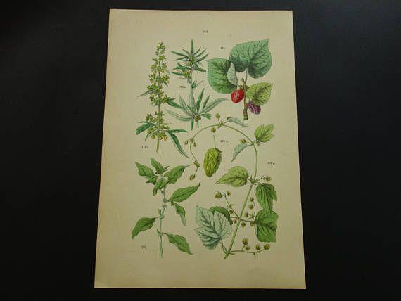 HEMP Old botanical print about Cannabis Sativa Hop 1884
