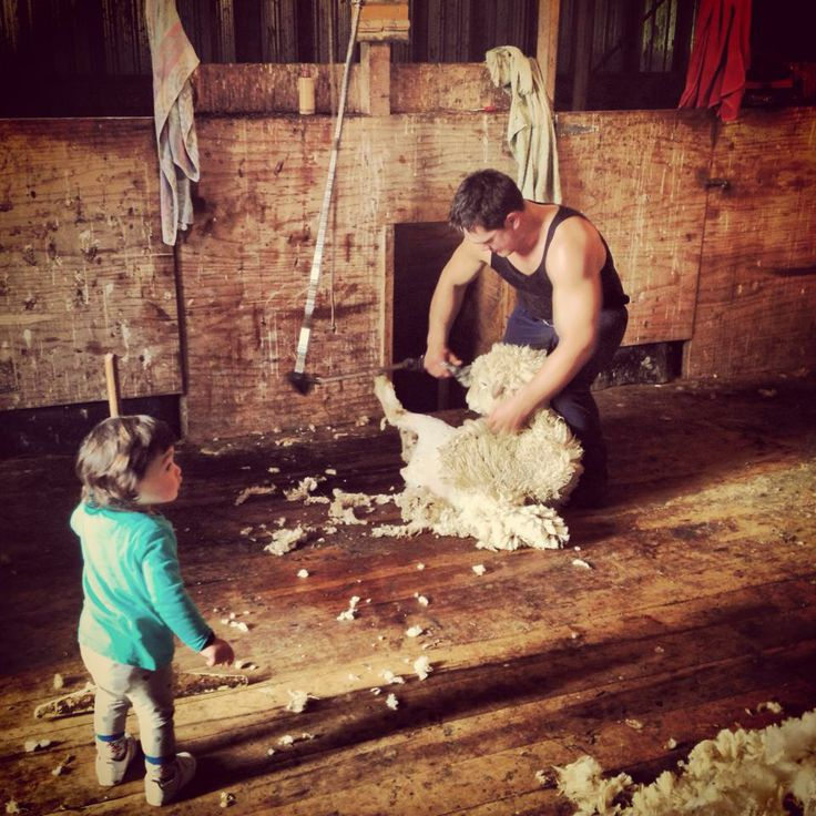 Wool Hero: Peta Goodwin of Farming Mums NZ shares this photo of her eldest daughter acting as a rousie for her dad in the shearing shed. #WoolHero #WeAreLovingWool #WoolWeek2014
