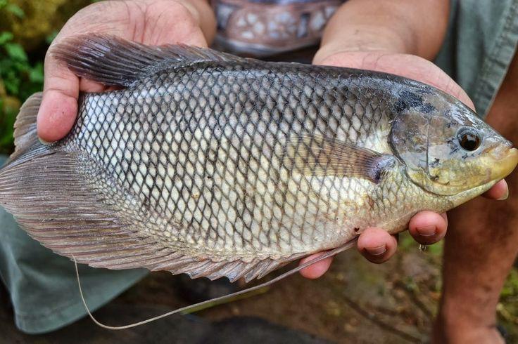 Pembesaran ikan gurame