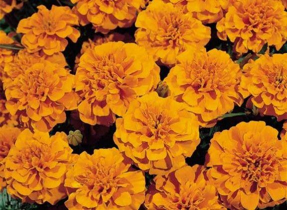 Marigold Orange #pohlmansnursery #10pots #gardening #australia
