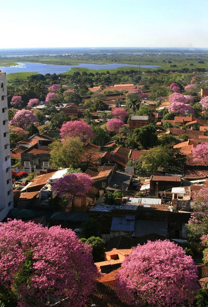 Lapacho is the national tree and it gives a special color to Asuncion | Paraguay (by César Gallardo)