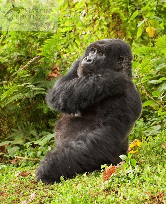 Mountain gorilla (Gorilla beringei beringei) Rwanda