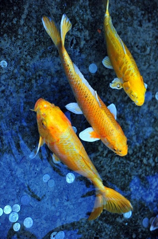 Blue and golden orange japanese koi in a wishing pond.