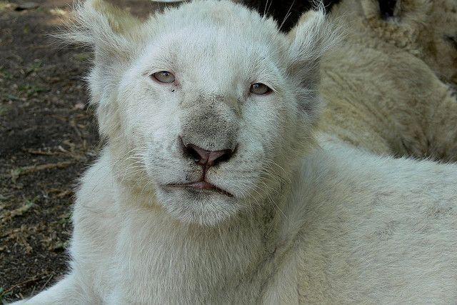 https://flic.kr/p/xSc5k | White lion cub | P1000928