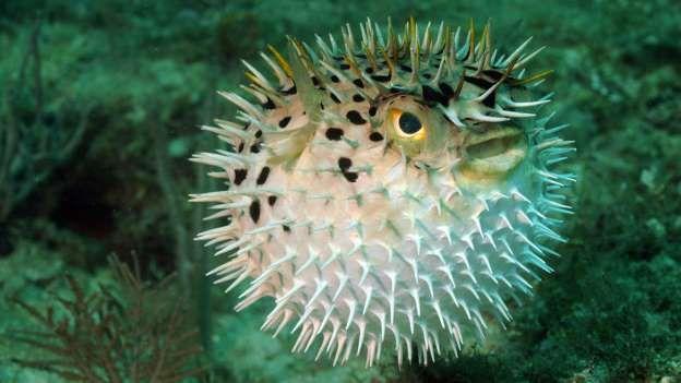 Kugelfisch Bei dem Gift des Kugelfischs handelt es sich um das Nervengift Tetrodotoxin, das zu den stärksten bekannten proteinartigen Nervengiften zählt, die in der Natur vorkommen. Die Giftmenge, die in einem Tigerfugu - dem König der Kugelfische - enthalten ist, reicht aus, um 30 Menschen zu töten. Die Wirkung des tückischen Tetrotodoxin kann bereits nach etwa zehn Minuten eintreten: eine Lähmung aller Körpernerven. Nach drei Stunden ohne Behandlung tritt der Atemstillstand ein…