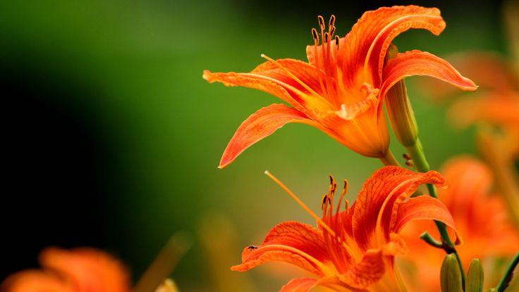 orange flower wallpaper1