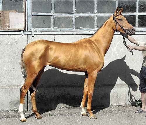 """The Akhal-Teke comes in several coat colors, any of which can display the special metallic shimmer for which this horse breed is famous. But the best known and most popular is the so-called """"golden horse,"""" which includes buckskin, palomino, cremello, and perlino coat colors. In these pale golden coat colors, the breed's unreal sheen seems to take on an otherworldly glow and radiance."""