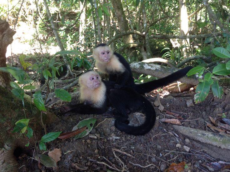 Manuel Antonio, singes capucins, z'ont toujours l'air contrarié...