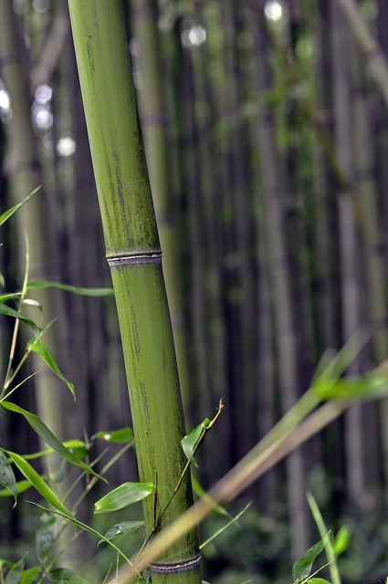 Il bambù contribuisce a rimuovere la formaldeide, tossina emessa dai sacchetti di plastica, dai fornelli a gas, dagli abiti di tintoria, da stoffe e tendaggi #rimedinaturali