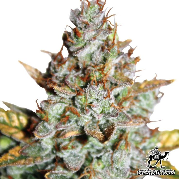Auto Blueberry Feminised fascinated cannabis growers with its luxurious scent of freshly picked fruit and a powerful indica effect supplemented with mild euphoria. Its delightful purple bushes barely reach 60 centimeters, but despite of modest height they demonstrate an outstanding performance, allowing to collect more than 400 grams per square meter. The powerful indica roots ensured ruggedness, dynamic growth and a high level of THC