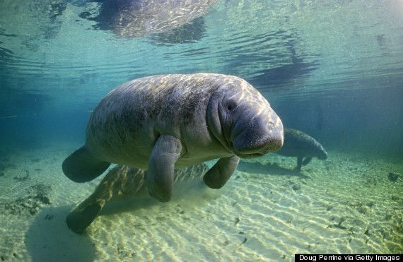 If you're looking to swim or snorkel with manatees, the only place in Florida to legally do so is Crystal River. Added bonus? It's not Sea World.