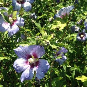 Hibiscus Viola by Piante Frosini