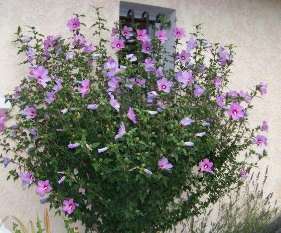 Best 25 Althea plant ideas on Pinterest Rose of sharon bush