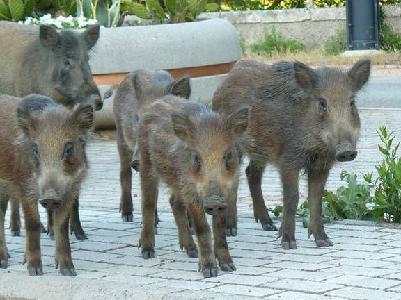 Wild Boars, Montioni