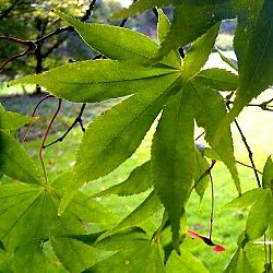 Acer palmatum - Japanese Maple - small garden tree  - Can be underplanted with Rhododendrons and Azaleas. Many variable forms. Likes moist conditions. - Dimensions: 5x4 metres