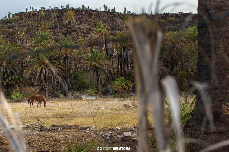 Horse #josafatdelatoba #cabophotographer #loscabos #bajacaliforniasur #mexico #rural #horse #cabosanlucas