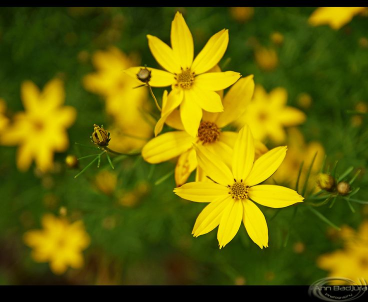 Lovely yellow flowers seen at Burnaby Lake Regional Park near Vancouver, BC, Canada...taken by myself - ©Ann Badjura