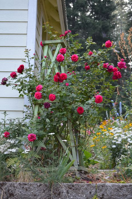 Great for smaller gardens, I show you how to Pillar a Rose to get tons of blooms and vertical interest in your garden!
