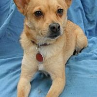 White River Junction, Vermont - Spitz (Unknown Type, Small). Meet Finn in TEXAS, a for adoption. https://www.adoptapet.com/pet/20677512-white-river-junction-vermont-spitz-unknown-type-small-mix
