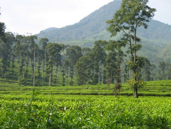 gambar kebun teh pagilaran