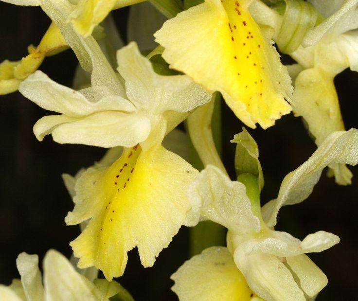 235 best favorite plants images on pinterest flowers gardening orchis pauciflora mightylinksfo