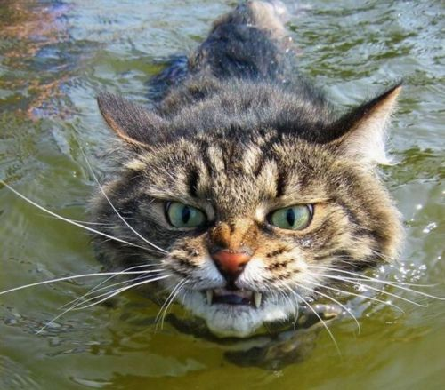 angry cat swimmer