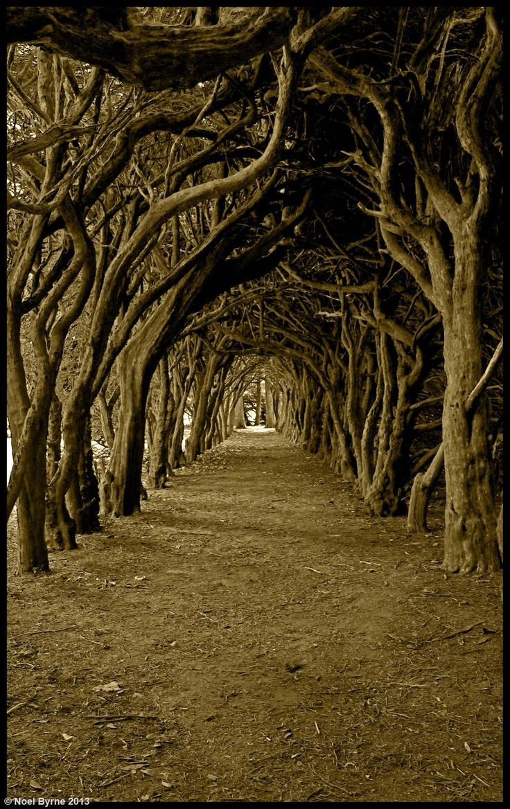 The Yew Walk, Meath, Ireland Copyright: Noel Byrne