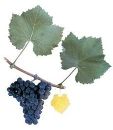Пино Нуар  Является одним из трех сортов винограда, разрешенных для производства шампанского. Пино нуар выращивают по всему миру. Наиболее выдающихся успехов достигли виноделы из Новой Зеландии, Калифорнии и Орегона. Вина из пино нуар получаются с очень тонким и сложным ароматом. В ароматах звучит свежая малина, вишня и слива, изысканный воздушный букет, изредка цветочный Станьте владельцем виноградника в Крыму всего за 299 рублей!