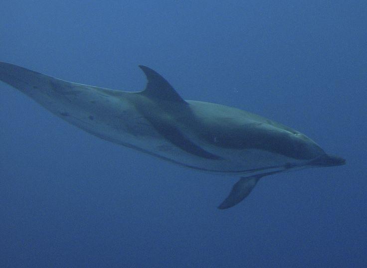 """Un dauphin proche des nageurs lors de nos sorties pour nager avec les dauphins à bord du """"Cala Rossa"""""""