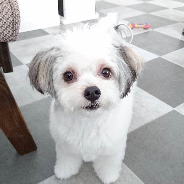 すぽんじのカットちょっと変えてみたけど、白飛びして見えないー  今抜群に可愛い😆目も綺麗になって本当に良かったよ😭❤ 親バカだなw  #いぬバカ部 #いぬ#愛犬 #ちわまる#可愛い#かわいすぎる#いやし犬 #親ばか #いぬすたぐらむ #ファインダー越しの私の世界 #犬好き