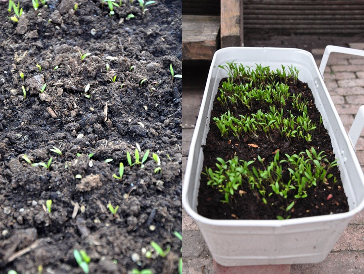 I've NEVER grown anything from seeds in my life. I wanted to give corriander a shot since I use it A LOT. I didn't think these would sprout. But I was so thrilled to wake up one morning to beautiful baby greens! And they are growing pretty fast. <3