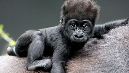 Silver back gorilla. Wallpaper APK for iPhone | Download Android ...