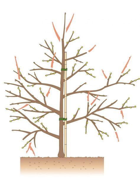 Apfelbaum schneiden                                                                                                                                                                                 Mehr